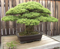 Bonsai_by_cowtools_on_flickr
