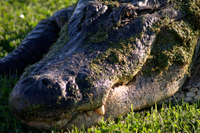 Alligator_mg_2434